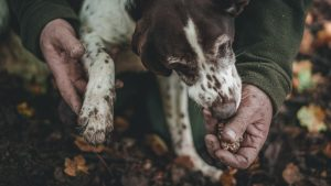 alba truffle hunting tour